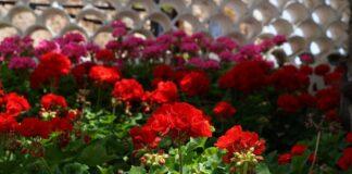 Muscata rosie. Ai aceasta floare in casa? Ce efecte are asupra organismului