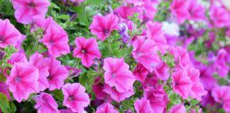 Petunia curgatoare. Cele mai bune sfaturi pentru ingrijirea florilor