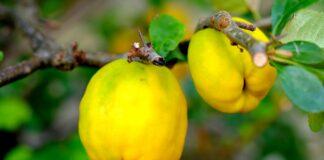 Gutuile - fructele minune care lupta impotriva cancerului. Ce vitamine contin
