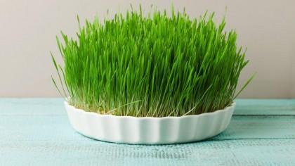 Când și cum se pune grâu la încolțit pentru Sfântul Andrei