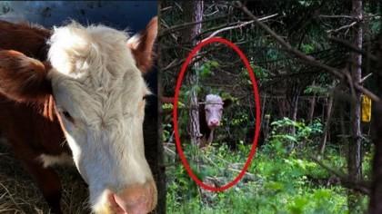 Bonnie si-a salvat viata. O vaca a fugit de la abator si a trait in padure cu o turma de cerbi